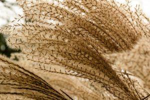 bamboo Eulalia grass