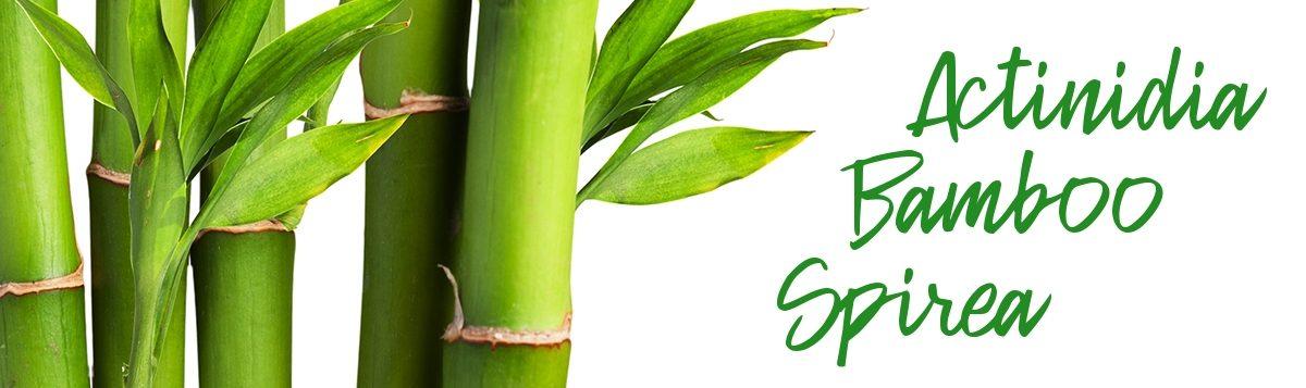 Angelic Bamboo Secrets