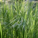 ornamental grasses blowing in the wind